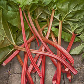 Rhubarb — Stock Photo