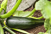 Ripe Courgette — Stock Photo