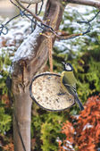 Blue tit feeding — Stock Photo