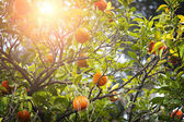 Orange tree — Stock Photo