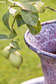 Lemon tree detail — Stock Photo