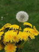 Dandelion bouquet — Stock Photo