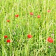 A Meadow with Poppy Flowers — Stock Photo #12500757