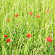 Stock Photo: A Meadow with Poppy Flowers
