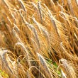 Wheat Field — Stock Photo #12666386