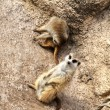 Two Meerkats - Stock Photo