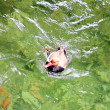 Swimming Duck - Foto Stock