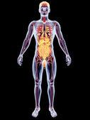 Inwendige organen — Stockfoto