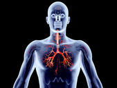 Internal Organs - Bronchial Arteries — Stock Photo