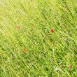 Stockfoto: A Meadow with Poppy Flowers