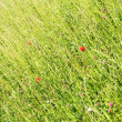 A Meadow with Poppy Flowers — Foto de stock #14659809