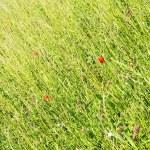 un prato con fiori di papavero — Foto Stock