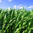Closeup of a Corn Field — Stock Photo #17145045