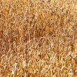 Wheat Field — Stock Photo #17145155