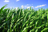 Closeup of a Corn Field — Stock Photo
