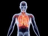 内部器官-肺 — 图库照片