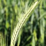 Green Wheat Field — Stock Photo #19187531
