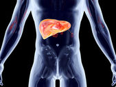 Internal Organs - Liver — Stock Photo