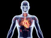 órgãos internos - coração — Foto Stock