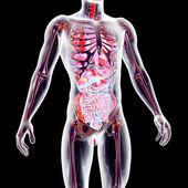 órganos internos — Foto de Stock