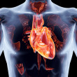 Internal Organs - Heart - Stock Photo