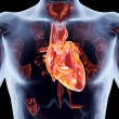 Internal Organs - Heart - Foto Stock