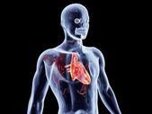 Internal Organs - Heart — Stock Photo