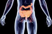 Internal Organs - Intestines — Stock Photo