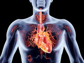 Internal Organs - Heart — Stock Photo