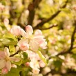 Blooming Apple tree — Stock Photo #26426697
