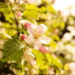 Blooming Apple tree — Stock Photo #27677295