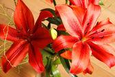 Lilium Flower — Stock Photo