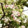 Blooming Apple tree — Stock Photo #30559649