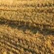 Harvested field background — Stock Photo #34569031