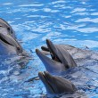 Bottlenose Dolphins, Tursiops truncatus — Stock Photo