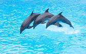 Three Bottlenose Dolphins, Tursiops truncatus — Stock Photo