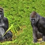 Male silverback gorilla with juvenile family member — Stock Photo #29909329