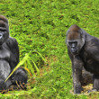 Stock Photo: Male silverback gorillwith juvenile family member