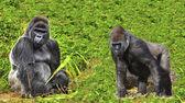Gorille dos argenté mâle avec le jeune membre de la famille — Photo