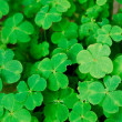 Clover field — Stock Photo #13498352