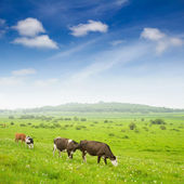 Cows in the grassland — 图库照片