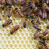 Bees and honeycomb — 图库照片