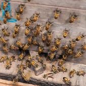 Working Bee — Foto de Stock