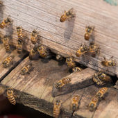Working Bee — Stock fotografie