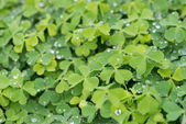 Hree leaf clovers — Stock Photo