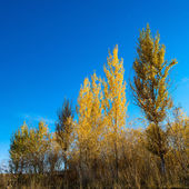 Birch trees — Foto de Stock