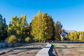 Berkenbomen — Stockfoto
