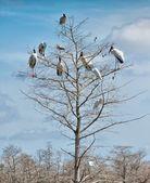 Woodstorks (Mycteria americana) — Stock Photo