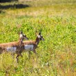 Two Antelope — Stock Photo