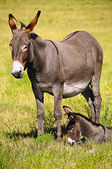 Mother and Baby Donkey — Stock Photo